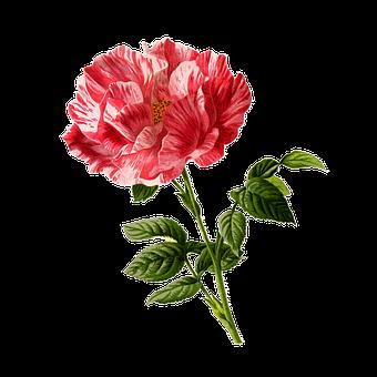 Rose, Flower, Vintage, Art, Cu Tout