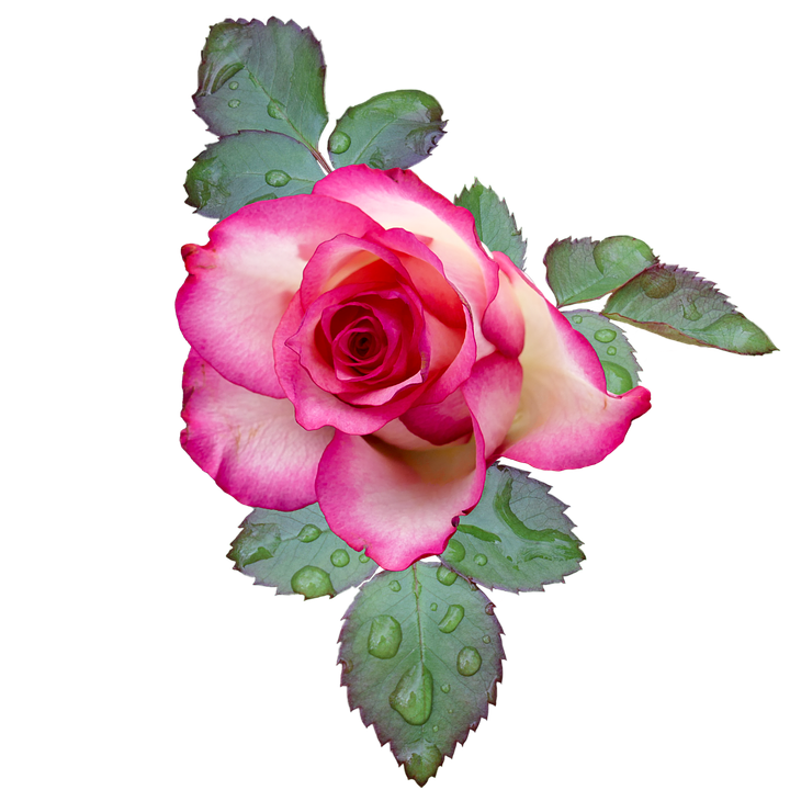 Free photo Rose Rose Bloom Pink White Free Image on Pixabay