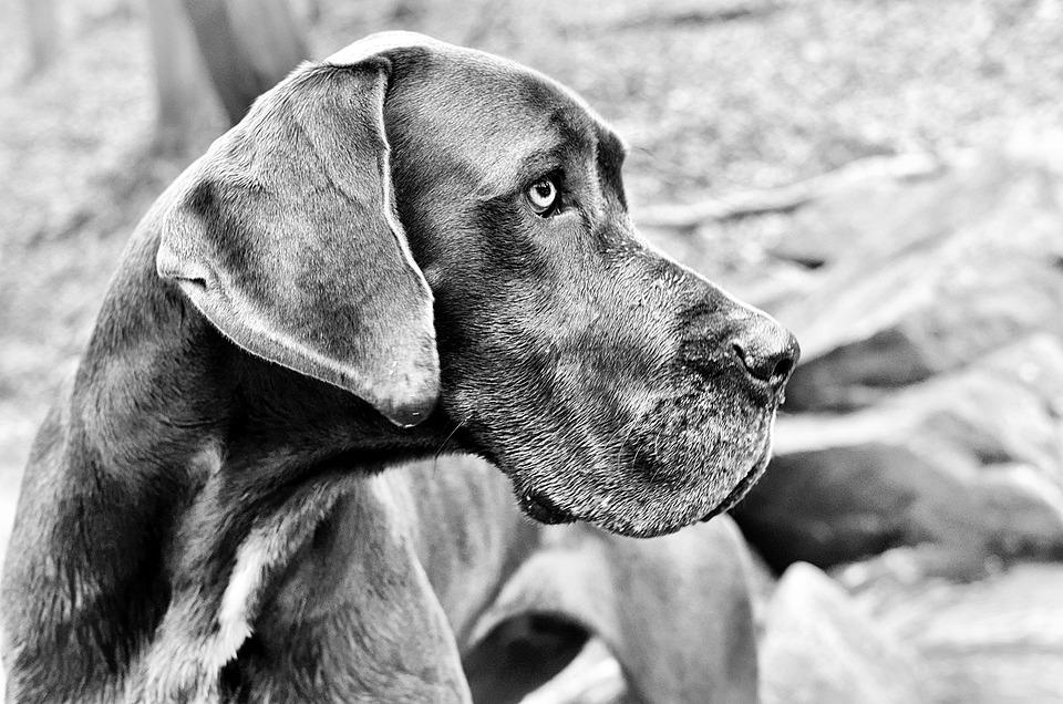 As 20 raças de cachorros mais perigosas do mundo