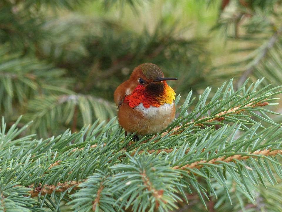 Colibri, Oiseau, Petits, Minuscules, Nature, La Faune