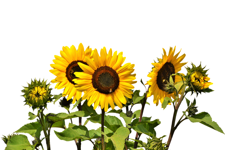 Sunflower images pixabay download free pictures sun flower flower yellow flower bloom mightylinksfo Choice Image