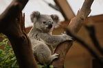 koala, animal, animals