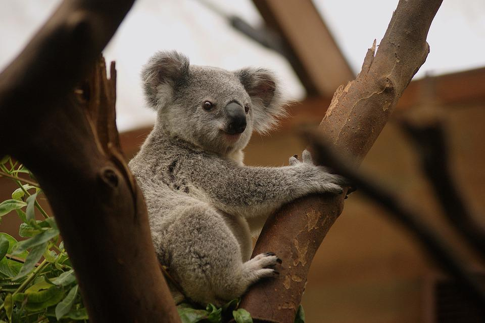 Koala, Animale, Animali, Natura, Sacchetto, Buidelbeer