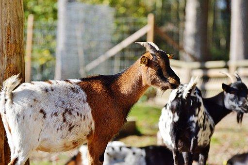 Goat, Livestock, Billy Goat