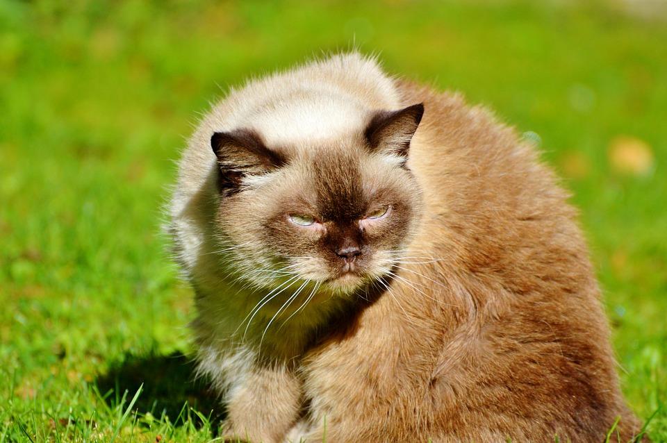 Cat, Breed Cat, British Shorthair, Mieze
