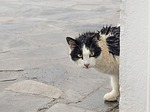 cat, stray, wet