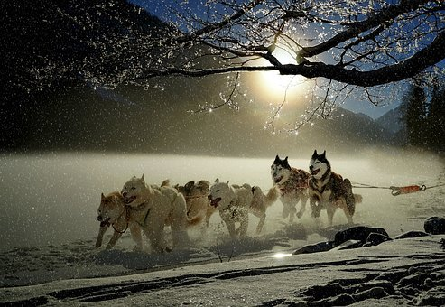 Dogs, Huskies, Animal, Dog Racing