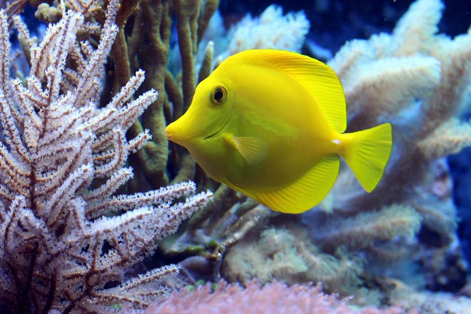 Fisch, Korallen, Doktorfisch, Unterwasser, Tauchen