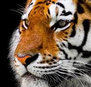 Animal, Tiger, Big Cat, Amurtiger