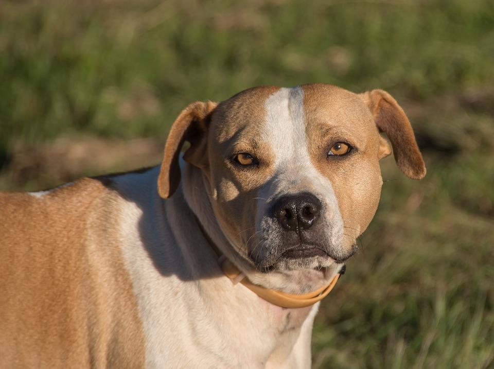 Anjing Staffordshire Bull Terrier