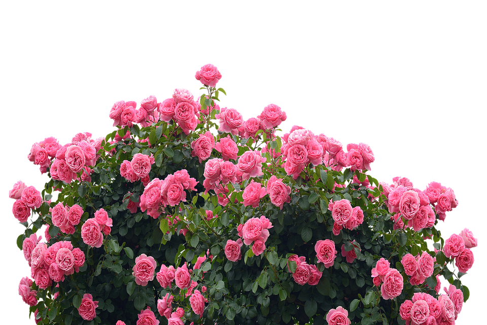 Love Garden Roses: Roses Love Nature Rose · Free Photo On Pixabay