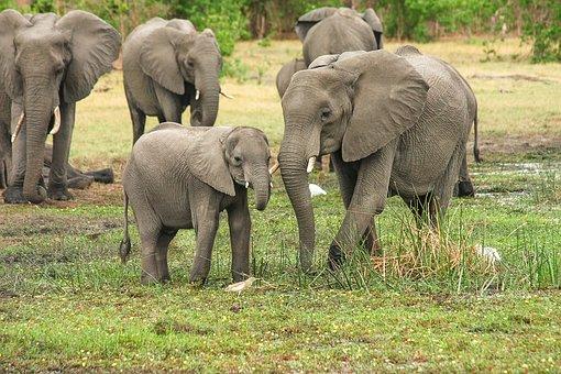 Elephant, Africa, African Bush Elephant