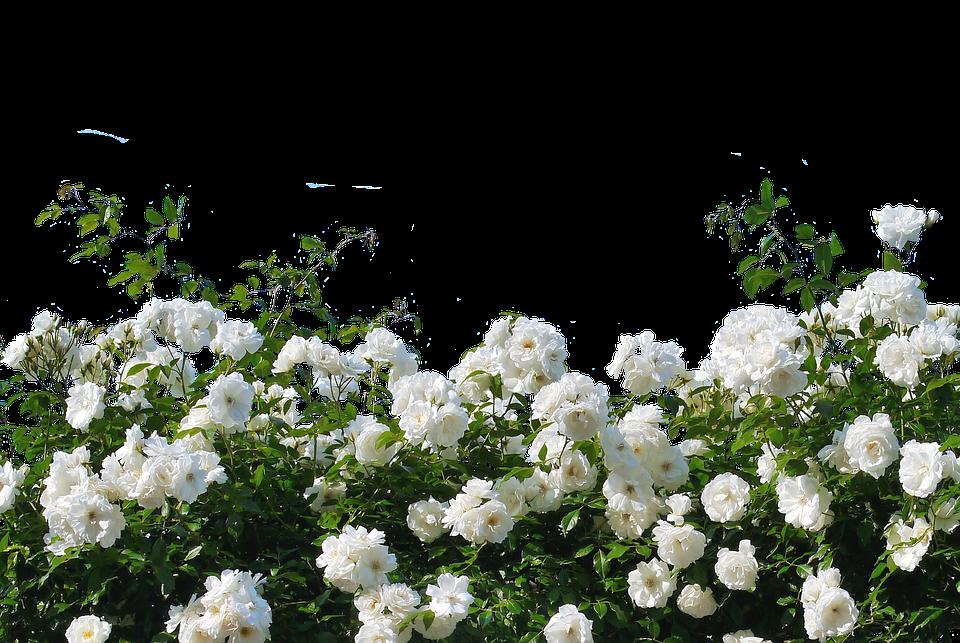 Roses White Roses Nature Blossom Bloom Flower