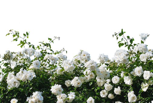 Wild Bushes With White Flowers