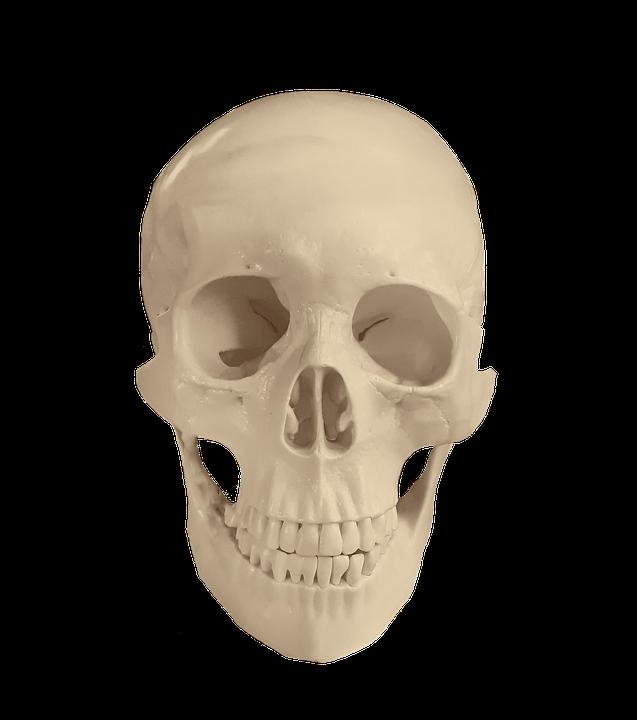 Skull Anatomy Bones Free Photo On Pixabay