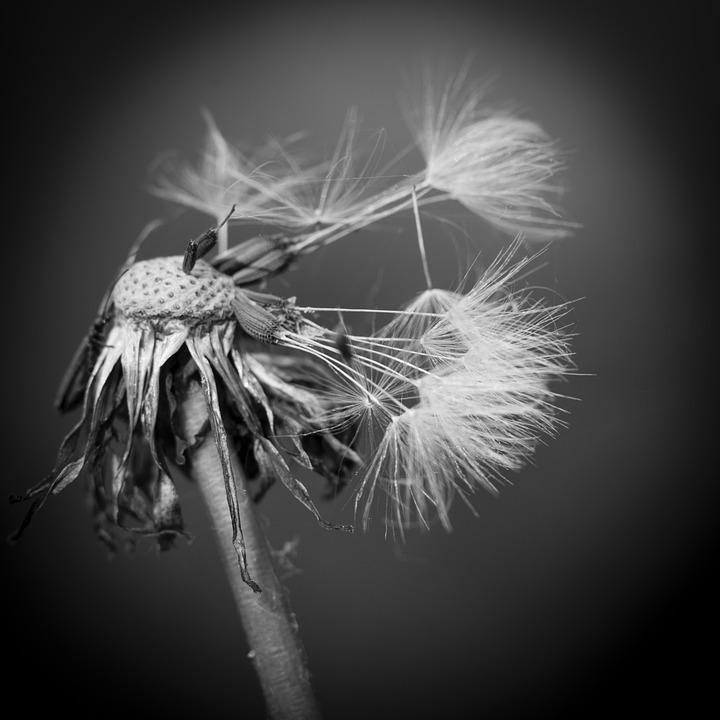 Pusteblume Schwarzweiß - Kostenloses Foto auf Pixabay