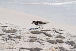 ruddy turnstone, shore bird