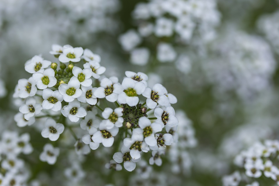 Tiny white flowers images pixabay download free pictures tiny white flowers white flowers mightylinksfo