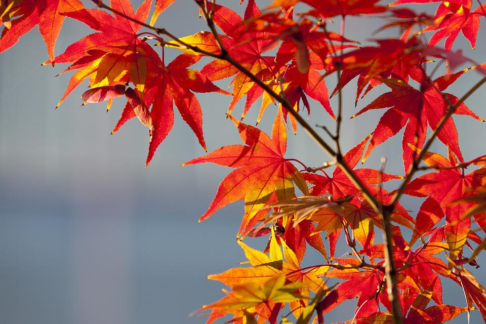 maple leaf autumn leaves  u00b7 free photo on pixabay free leaf vector backgrounds tree leaf free vector