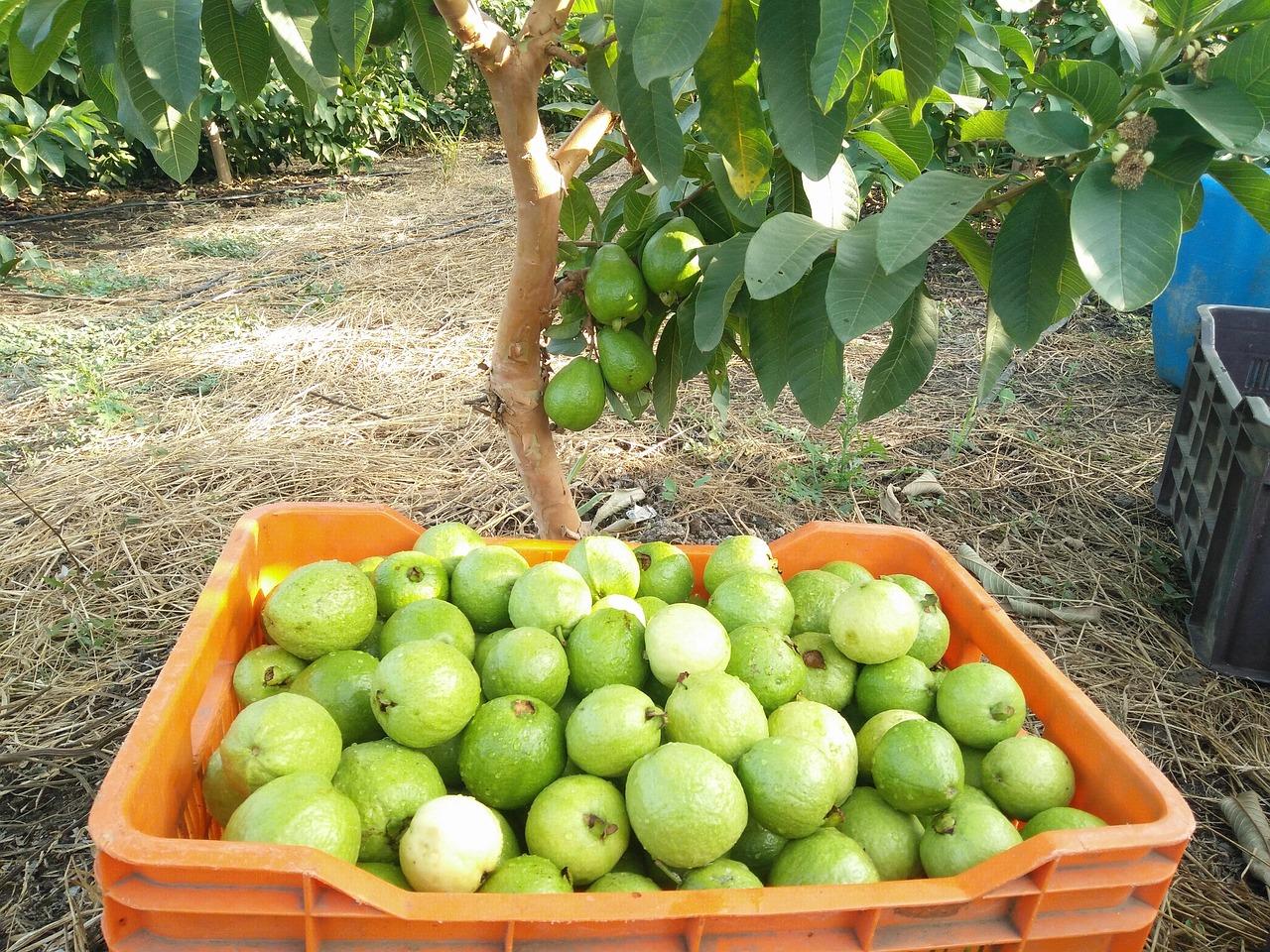 Pregnancy me Guava khana safe hai