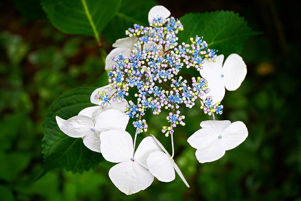 hydrangea flower summer plant garden floral white