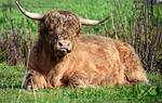 beef, bull, pasture