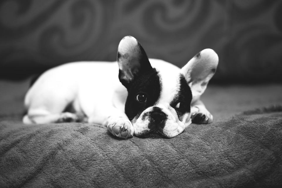Cool Bulldog Canine Adorable Dog - animals-2939592_960_720  Snapshot_372096  .jpg