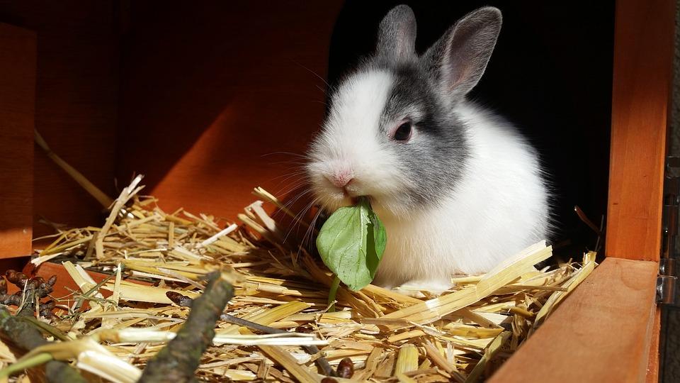 Rabbit, Dwarf Rabbit, Color Dwarf, Pet, Basil