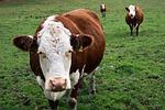cows, three, biased