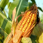 corn on the cob, corn, grain