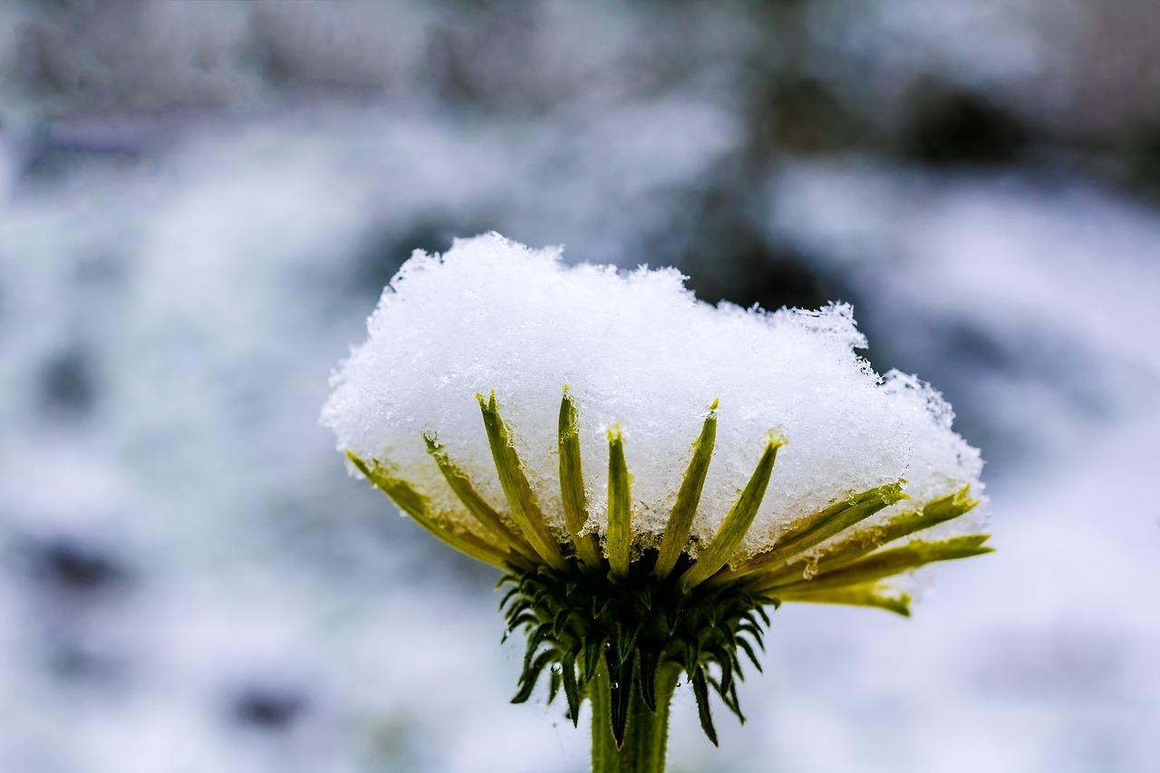 российский ромашка в снегу картинка примерно
