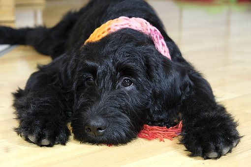 Labradoodle Puppies for sale in Minnesota