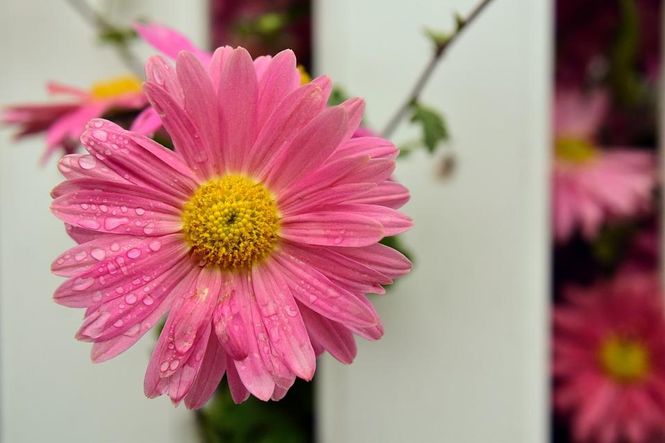 Berühmt Margerite Blume Blüte - Kostenloses Foto auf Pixabay #QA_96