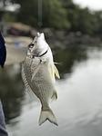 fishing, fish, brim
