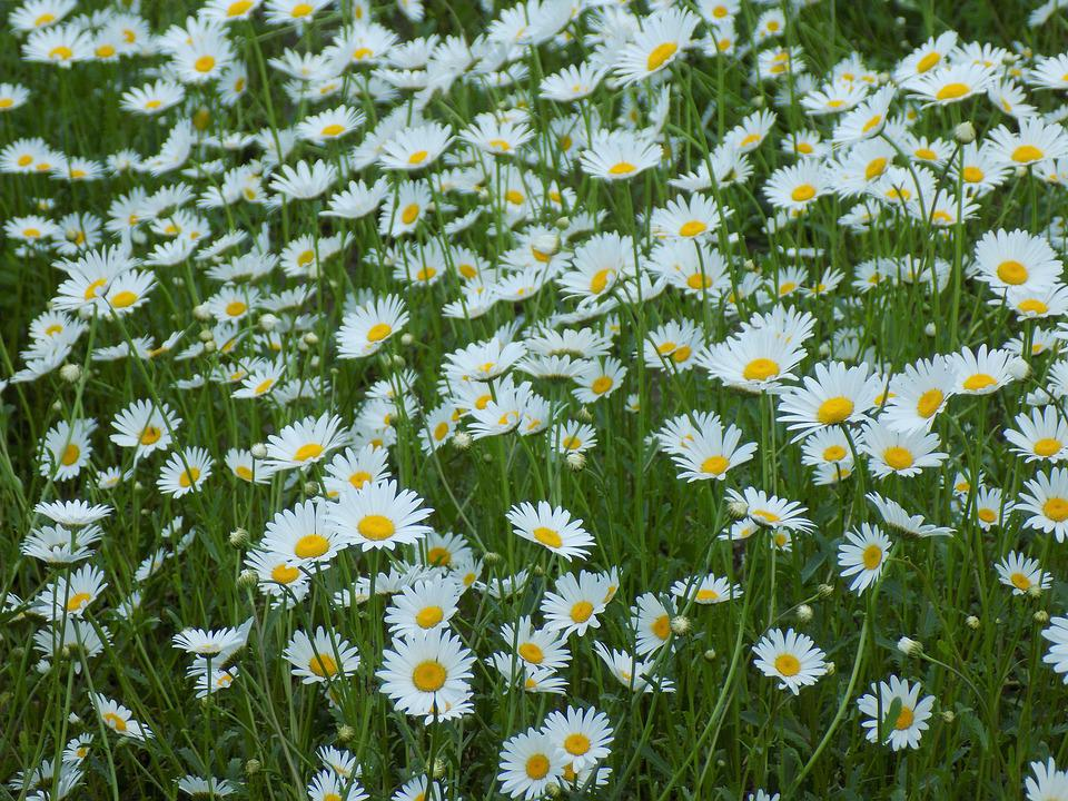 Chamomile flowers of the field free photo on pixabay chamomile flowers of the field white flowers plant mightylinksfo