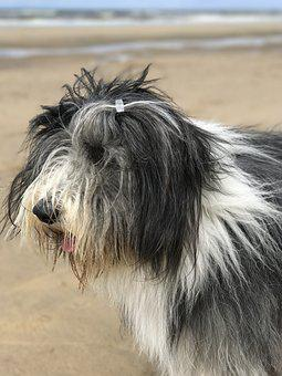 Dog, Bearded Collie, Beach