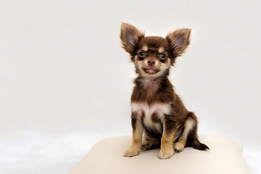 Chihuahua, Small Dog, Dog, Chiwawa, Cute