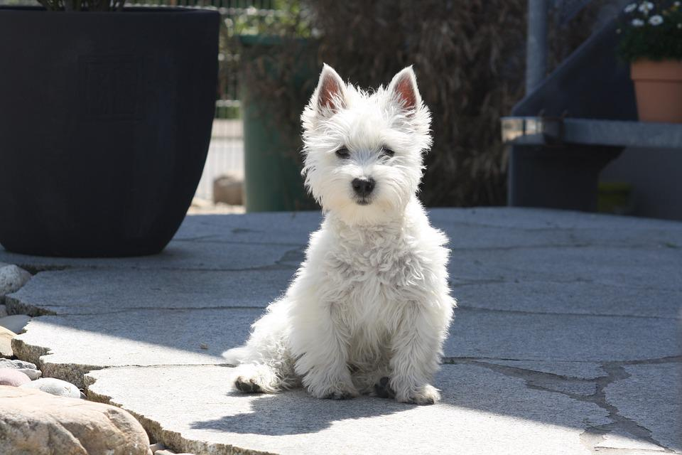 west highland terrier puppy free photo on pixabay