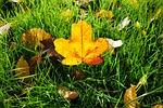 leaf, autumn leaf, grass