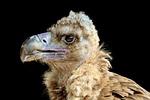 black vulture, vulture