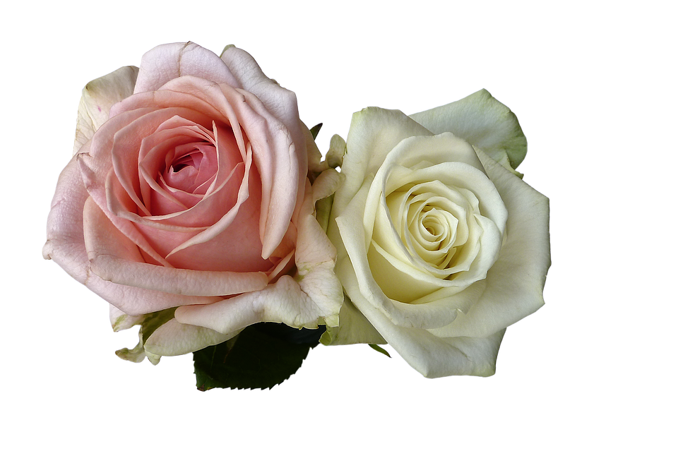 Roses flowers rose flower free photo on pixabay roses flowers rose flower white pink romantic mightylinksfo
