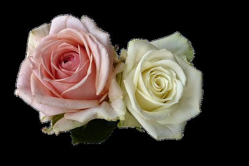 Roses, Flowers, Rose Flower, White, Pink