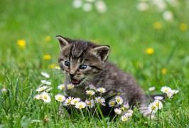 Kitty, Cat, Kitten, Domestic Cat