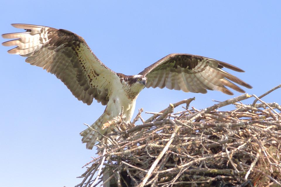 hawk in nest