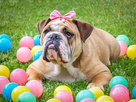 Bulldog, Cute, Easter, Animal, Dog, Pet