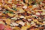 leaves, autumn