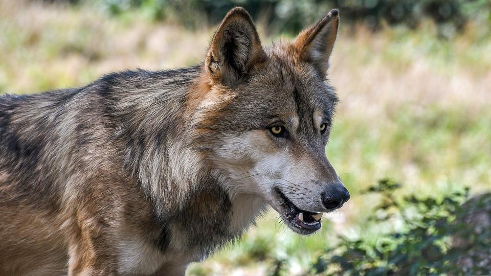 Wolf, Predator, Animal, Wild
