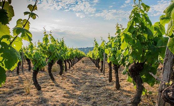つる, ボジョレー, ブドウ園, ワイン, Ceps