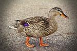 duck, walking, quack