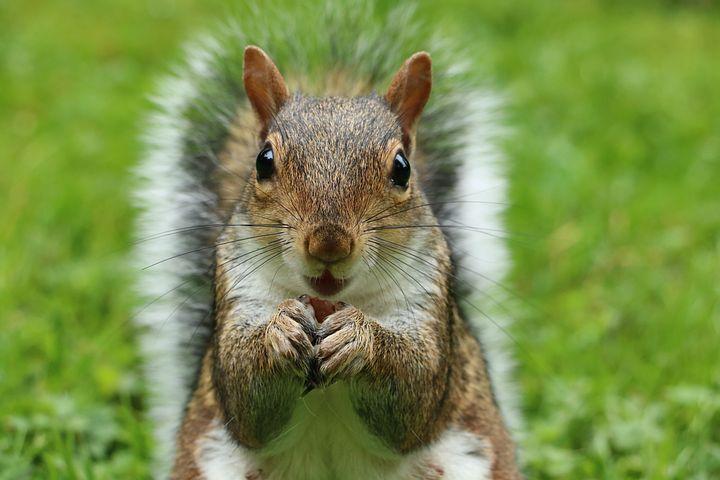 Photo of a squirrel feeding.